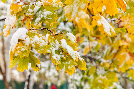 first day: first snow on yellow leaves of maple tree in autumn day Stock Photo