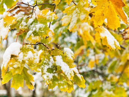 first day: first snow on yellow leaves of maple tree close up in autumn day
