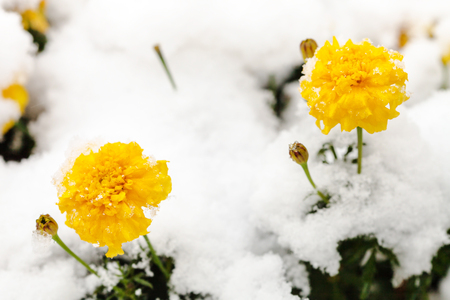 flower beds: yellow flowers under first snow on frozen flowerbed in autumn Stock Photo