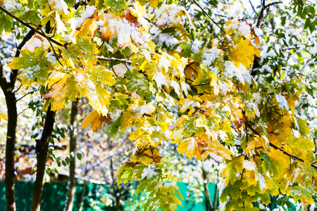 first day: first snow on yellow leaves of maple tree in sunny autumn day
