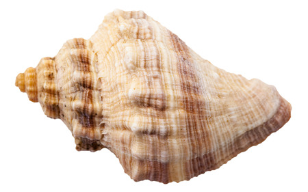mollusk: spiral shell of big sea mollusk snail isolated on white background Stock Photo