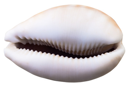 land shell: empty shell of cowry mollusk isolated on white background