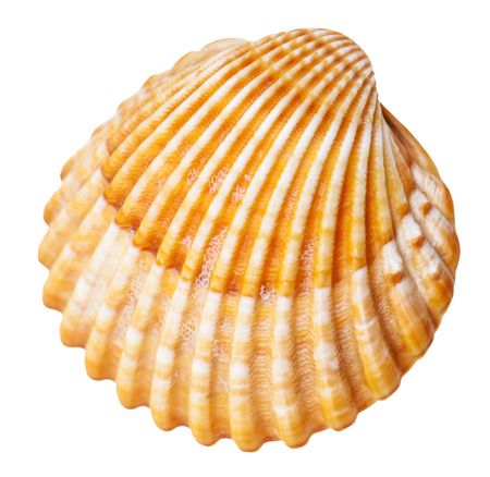 clam mollusc shell isolated on white background Stock Photo