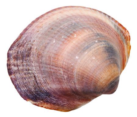 mollusc: sea venus clam mollusc shell isolated on white background