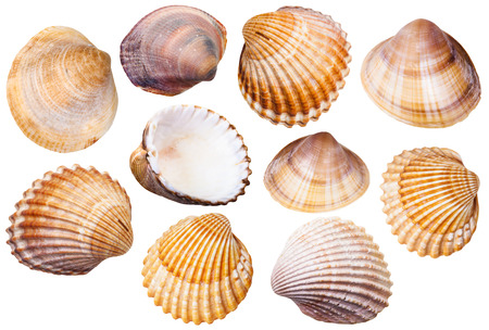 mollusc: set of clam mollusc shells isolated on white background