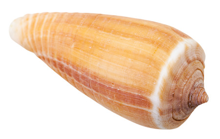 cone shell: mollusk shell of sea cone snail isolated on white background