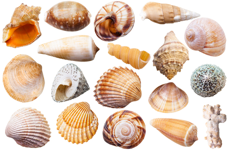 mollusk: set of different mollusk shells isolated on white background