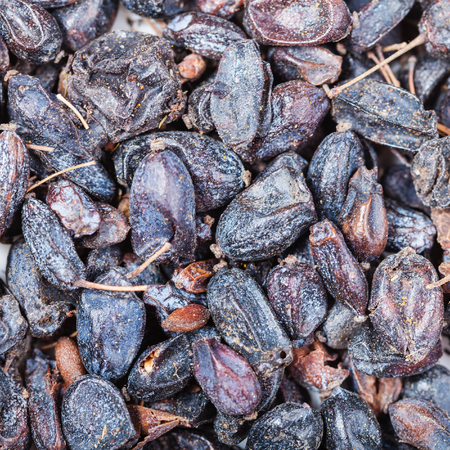 barbery: square food background - many dried black berberis fruits