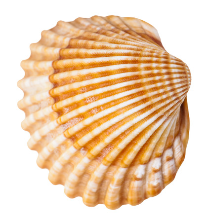 mollusk: clam mollusk shell isolated on white background Stock Photo