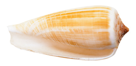 cone shell: empty mollusc shell of sea cone snail isolated on white background