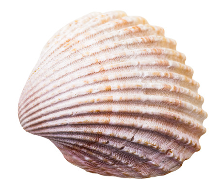 mollusk: sea clam mollusk shell isolated on white background