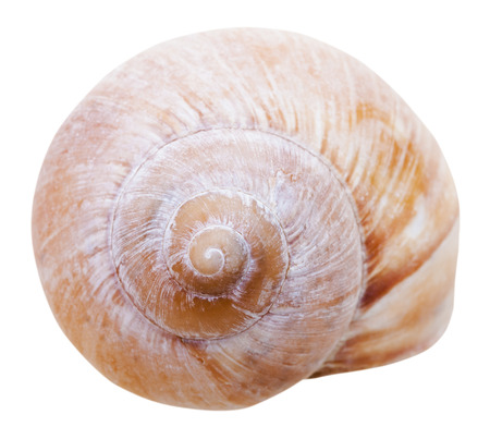 gastropoda: spiral mollusc shell of gastropoda snail isolated on white background