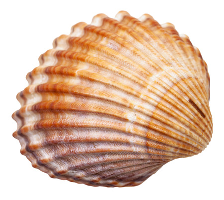 bivalvia mollusc shell isolated on white background
