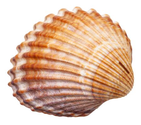 mollusc: bivalvia mollusc shell isolated on white background