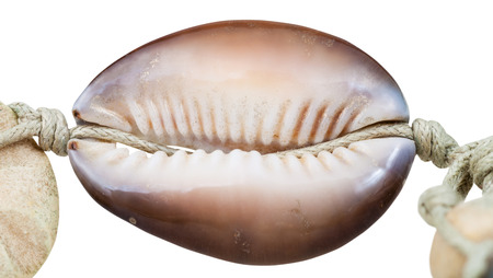 sewn up: bead from natural cowry mollusk shell on thread isolated on white background