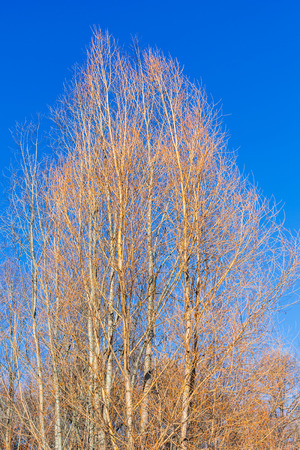 yellow alder: yellow bare Alder trees and blue sky in sunny winter day
