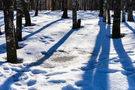 frost bound: puddle from melting snow in birch grove in sunny winter day