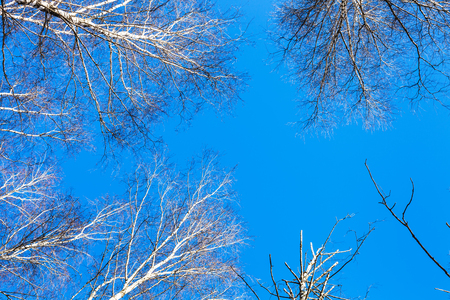 copse: white birch tops and blue sky in sunny winter day