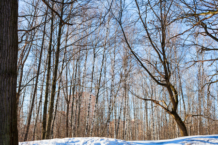 tree trunk: bare trees on snowy hill in urban park in sunny winter day Stock Photo