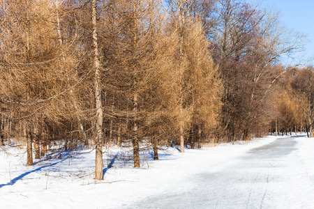 frost bound: frozen pathway along bare larch trees in sunny winter day