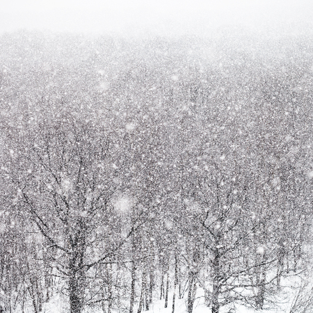 snow storm over forest in winter day