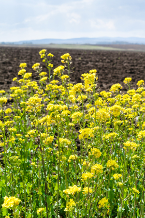 rappi: yellow blooms of canola and arable field in spring