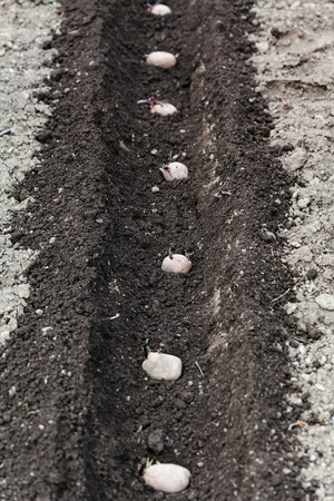 furrow: planting vegetables in garden - row of seed potatoes in furrow in vegetable garden