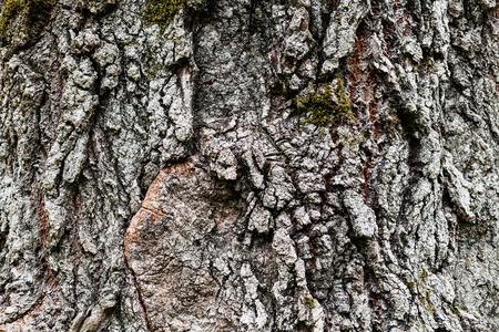 arbol alamo: natural background - cracked bark of old poplar tree