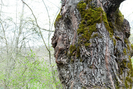 arbol alamo: bark of old poplar tree and young green forest growth on background in spring Foto de archivo