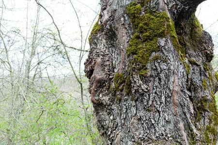 arbol alamo: corteza de árbol viejo álamo y el crecimiento del bosque verde joven en el fondo de la primavera