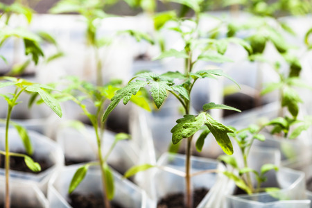 hotbed: green sprouts of tomato plant in plastic tubes in glasshouse Stock Photo