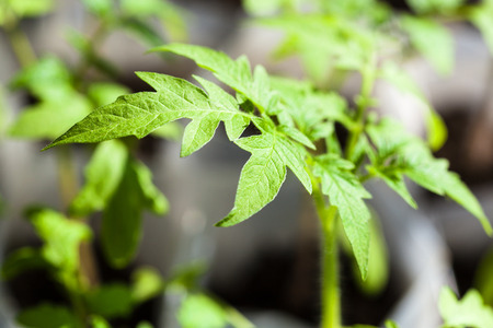 glasshouse: green seedlings of tomato plant close up in glasshouse Stock Photo