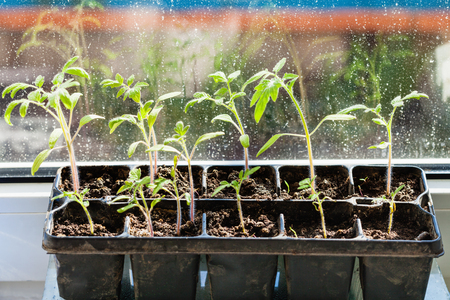sill: container with tomato plant seedlings on window sill Stock Photo