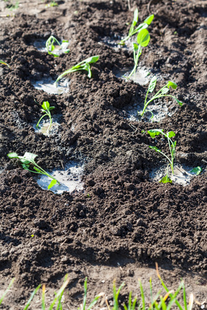 watered: planting vegetables in garden - watered seedbeds with cabbage sprouts in spring