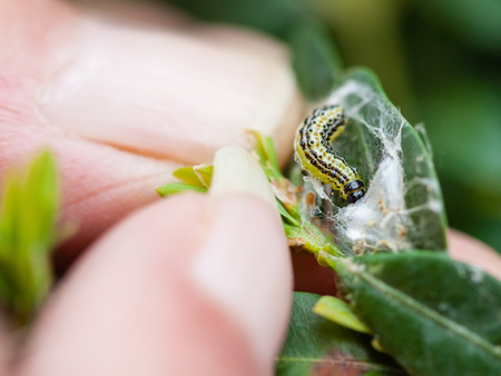 farmer removes the larva of insect pest (Cydalima perspectalis or the box tree moth) from boxwood leaves in garden Stock Photo