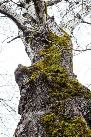 arbol alamo: bare trunk of old poplar tree covered by green moss in spring