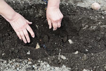 furrow: planting vegetables in garden - farmer plants seed potato in furrow in vegetable garden
