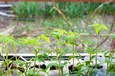 hotbed: young sprouts of tomato plant in plastic boxes on window sill