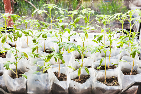 glasshouse: green sprouts of tomato plant in plastic boxes in glasshouse Stock Photo