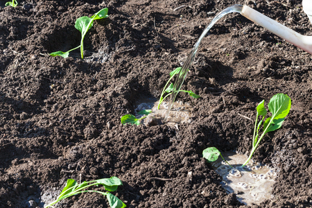 raising cans: planting vegetables in garden - watering can pours cabbage shoots in spring