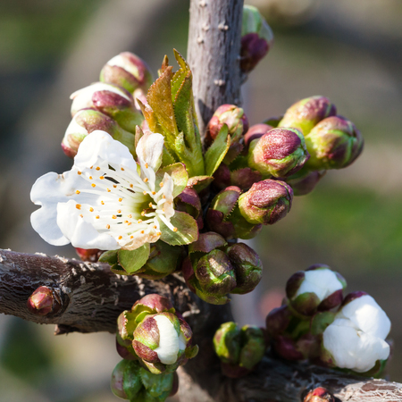 gean: white flowers and buds of blossoming black cherry (shpanka) tree close up in spring Stock Photo