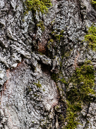 arbol alamo: natural background - cracked bark of old poplar tree and green moss