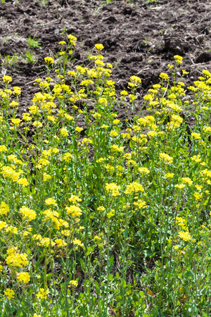 canola plant: yellow flowers of canola plant in spring