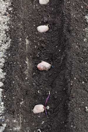 furrow: planting vegetables in garden - seed potatoes in plowed furrow in vegetable garden