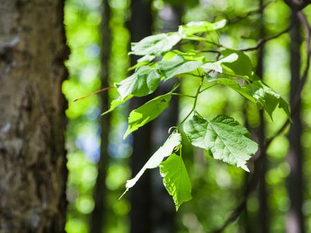 albero nocciola: fondo naturale - foglie verdi di nocciolo vicino in foresta