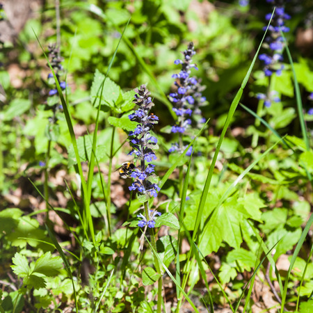 pulmonaria: natural background - blue flowers of Pulmonaria (lungwort) in sunny forest