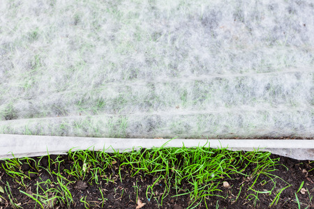 sprouts of young green grass under nonwoven fabric for mulching