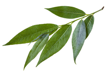 salix fragilis: twig with green leaves of willow (Salix acutifolia, sharp-leaf willow) isolated on white background Stock Photo