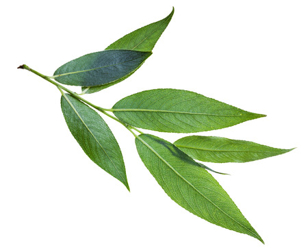 salix: branch with green leaf (back side) of willow (Salix acutifolia, sharp-leaf willow) isolated on white background