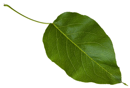 crab apple tree: green leaf of Malus tree (crabapple, crab apple, crabs, wild apples) isolated on white background Stock Photo